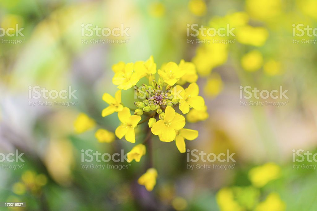 Rapeseed royalty-free stock photo