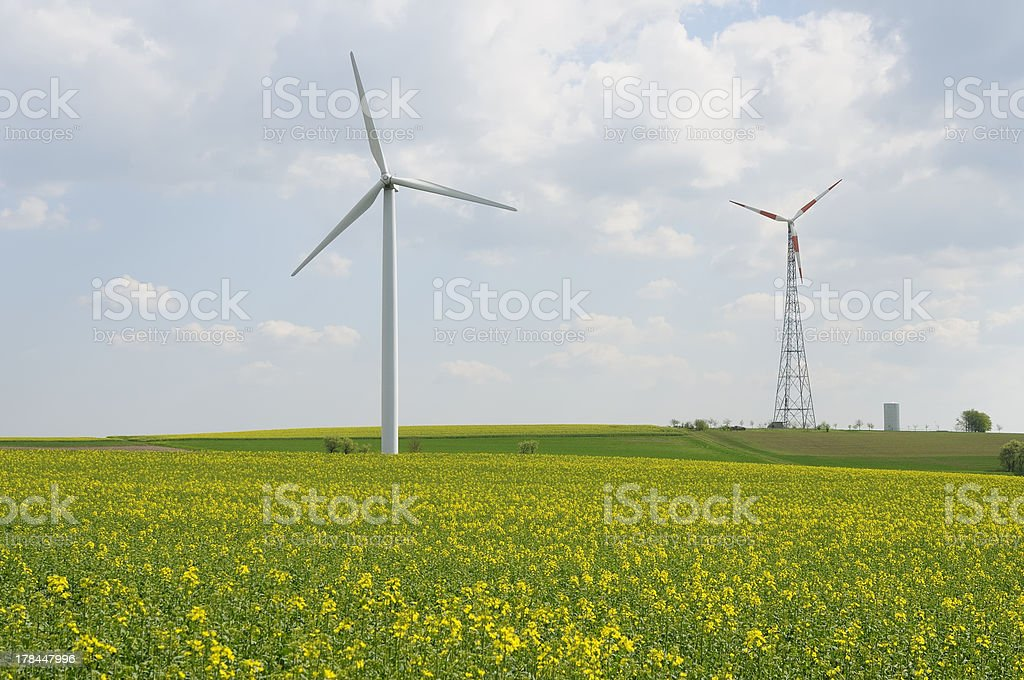 rapeseed stock photo