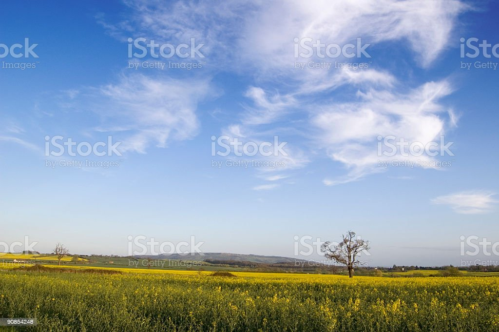 Rapeseed Summer Tree stock photo