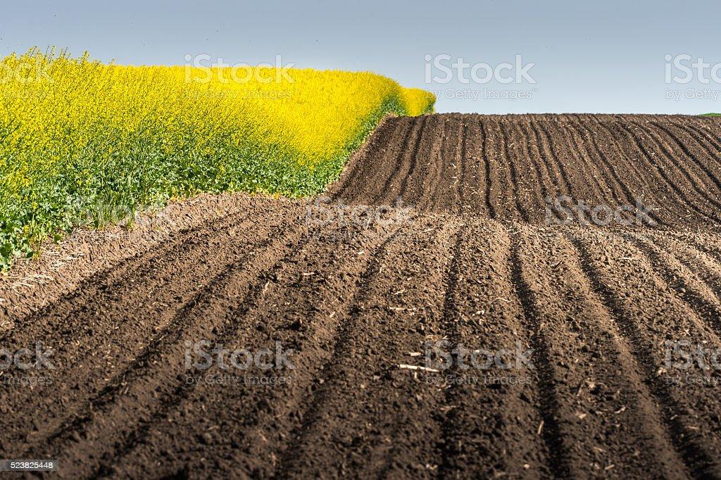 Rapeseed yellow field stock photo