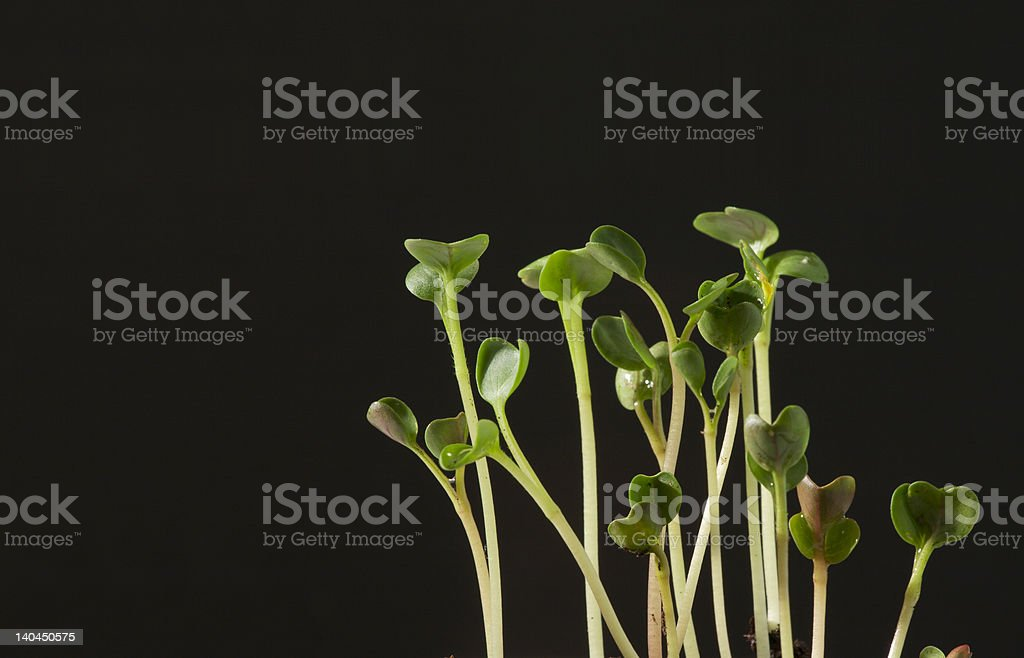 rapidly growing sprouts royalty-free stock photo