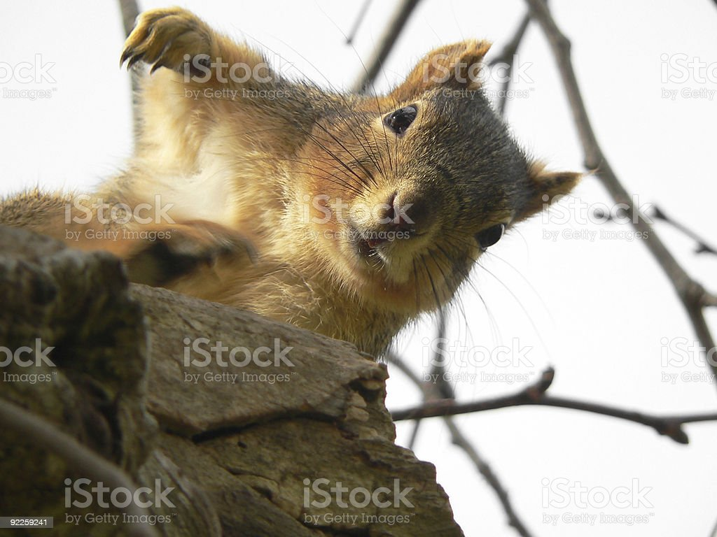 Rapping Squirrel stock photo