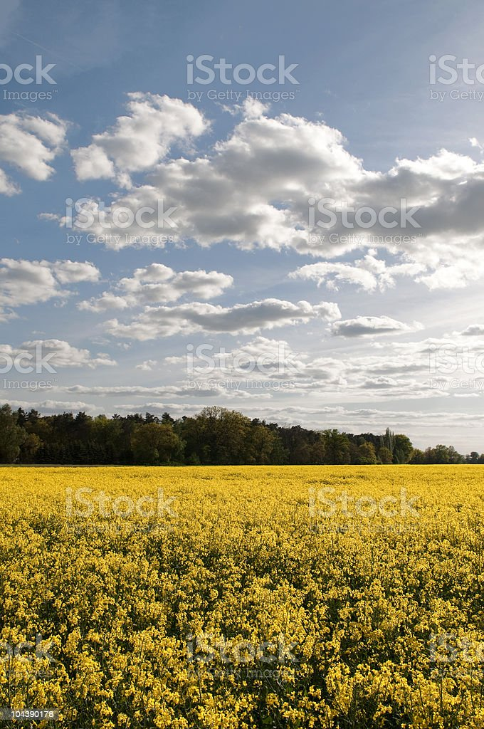 Raps field in front of tress. royalty-free stock photo