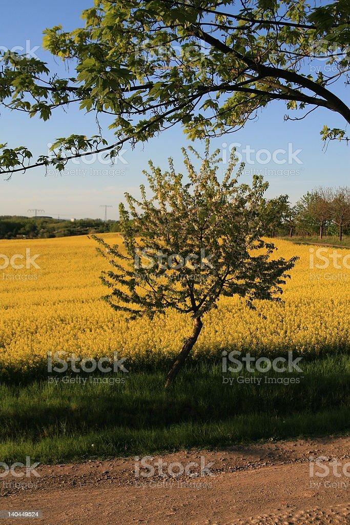 Rapsfeld in der Abendsonne royalty-free stock photo