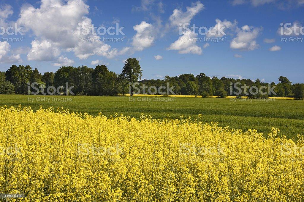 Rapsfeld royalty-free stock photo