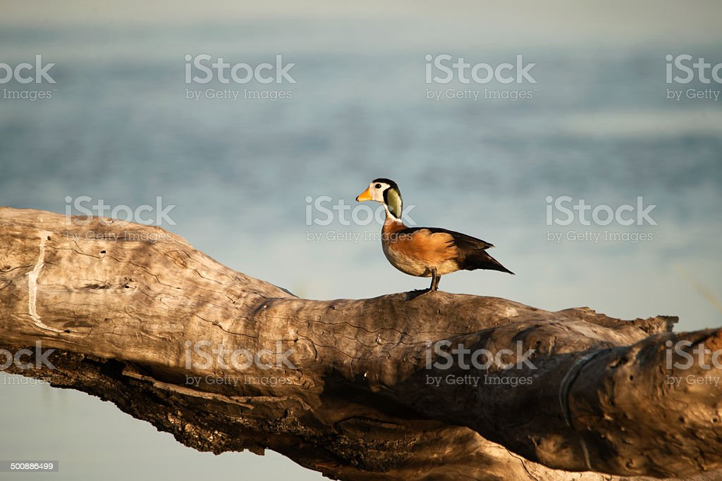 Rare African Pygmy Geese South Africa royalty-free stock photo