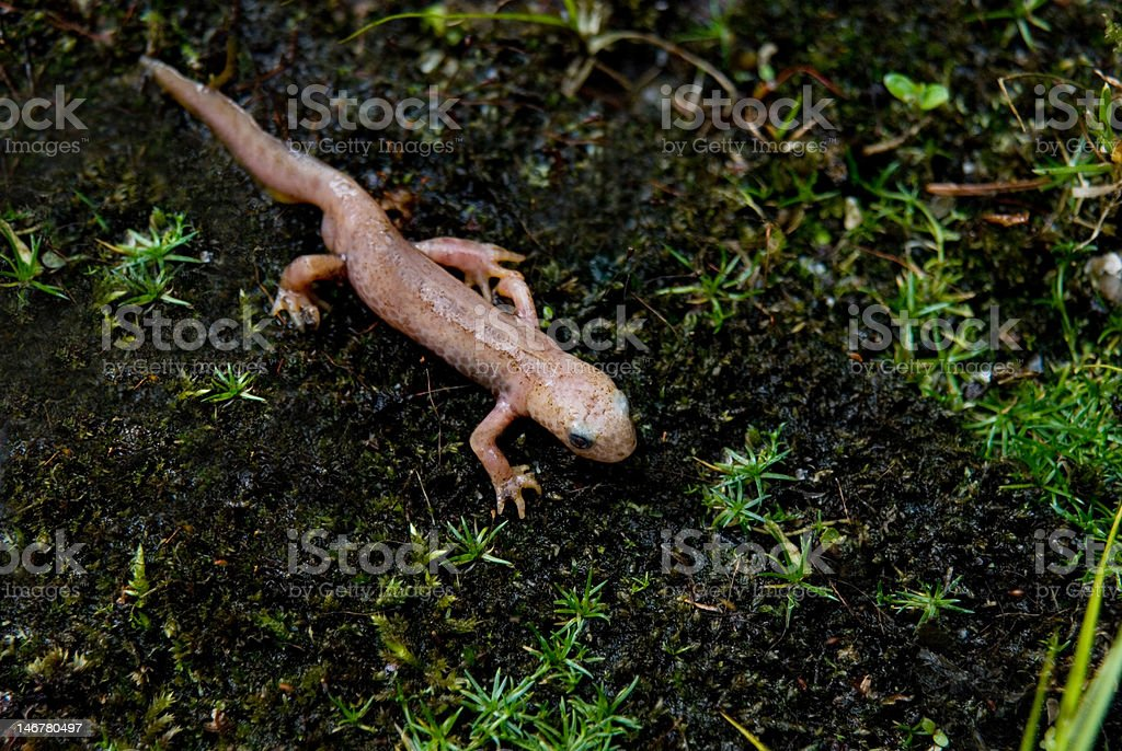 Rare Albino Newt Without Color Pigments And Red Eyes stock photo