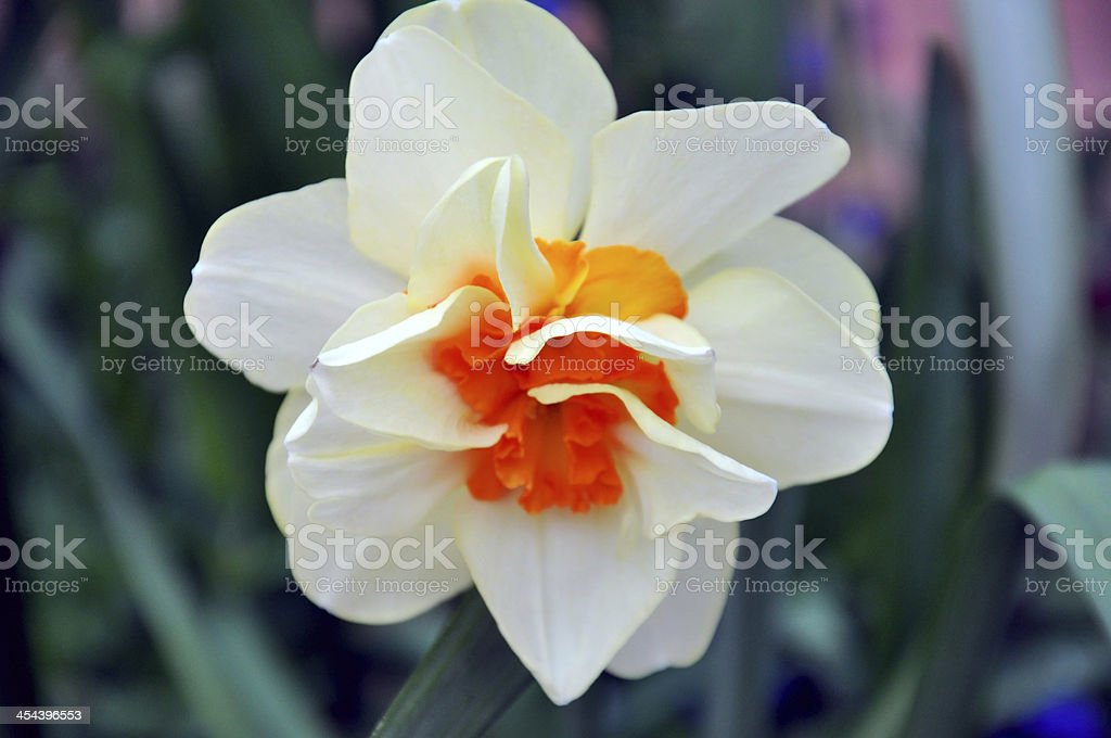Rare and unusual pink orange double daffodil. royalty-free stock photo