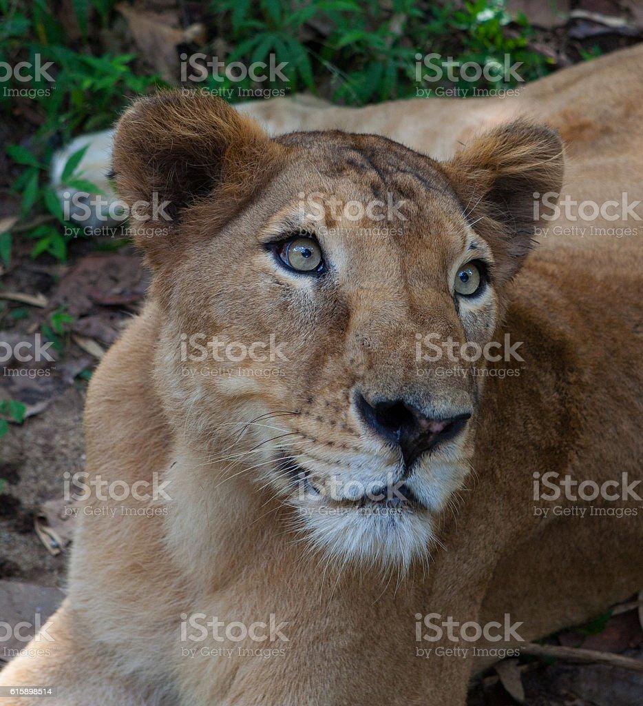 Rare Asiatic lioness, Kerala, India stock photo