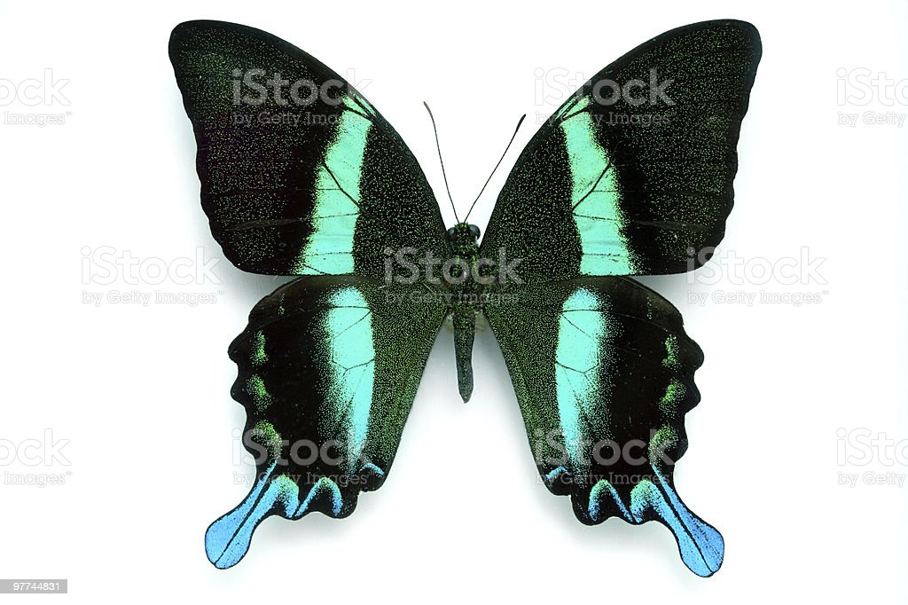Rare Beautiful Butterfly royalty-free stock photo