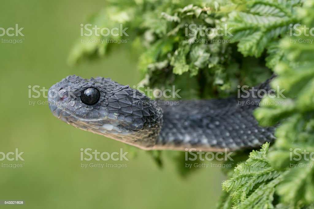 Rare Black Bush Viper emerging from plant - Venomous Snake stock photo
