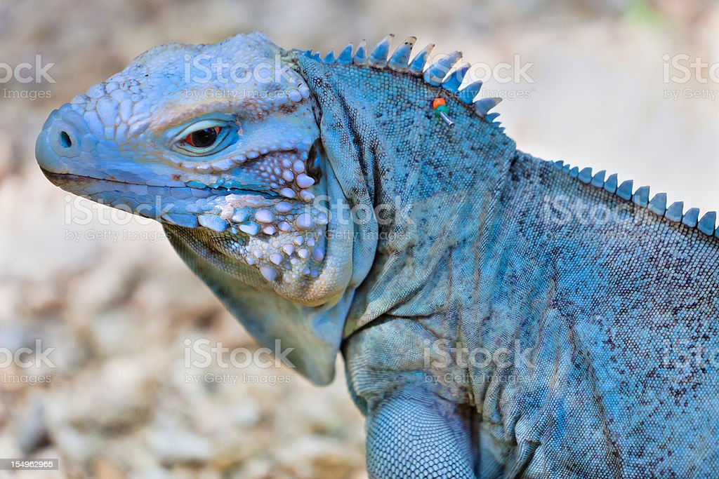 Rare Blue Iguana stock photo
