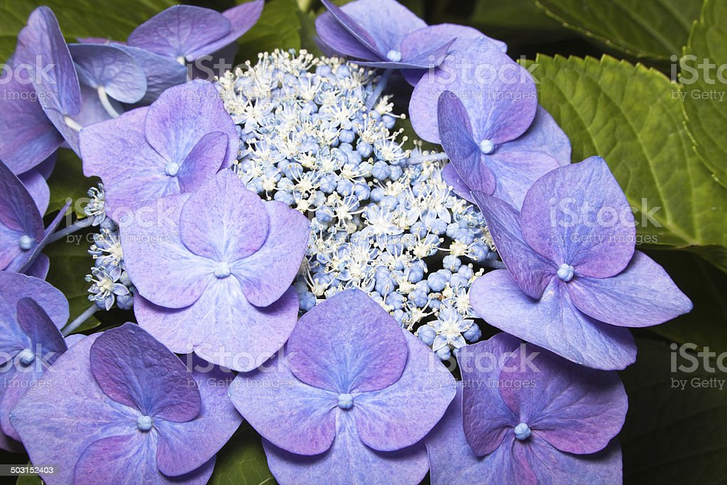 Rare blue lavender male female hydrangea close up royalty-free stock photo