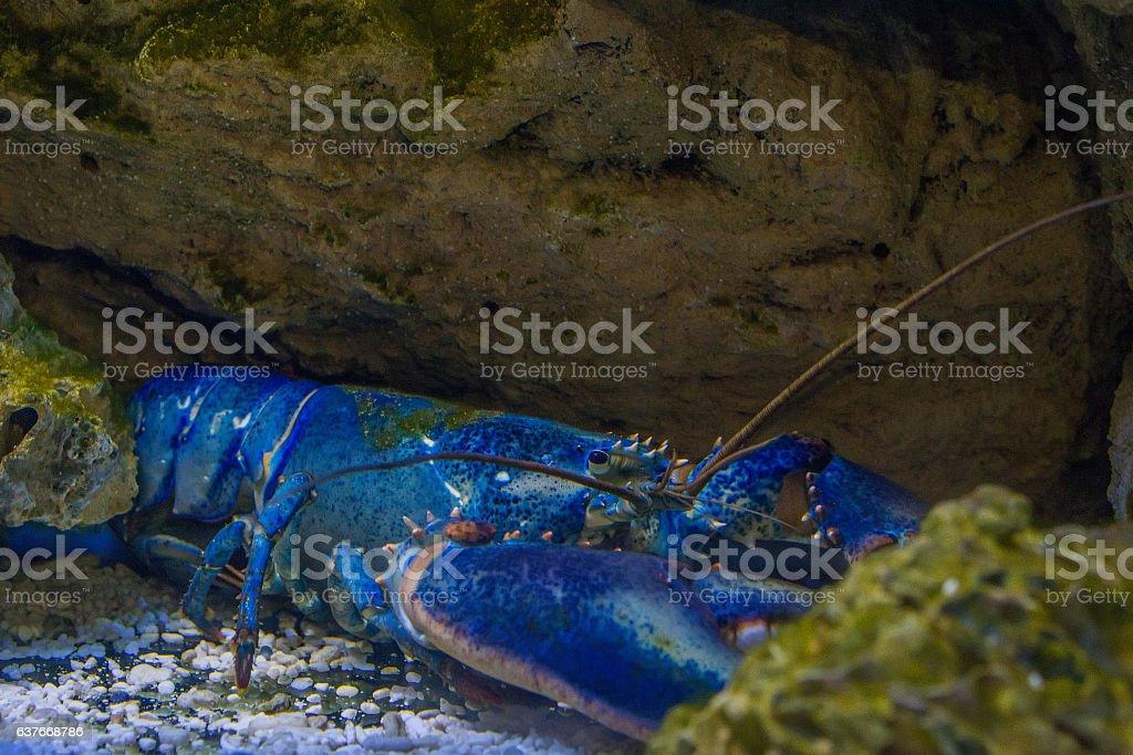 Rare blue lobster stock photo
