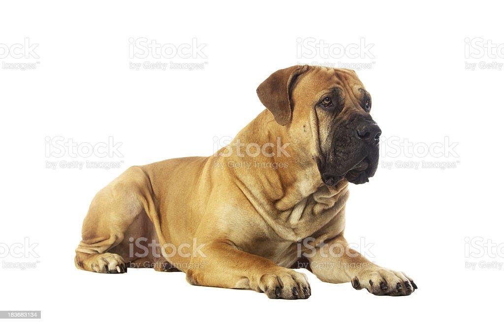 Rare breed South African boerboel posing in studio. stock photo