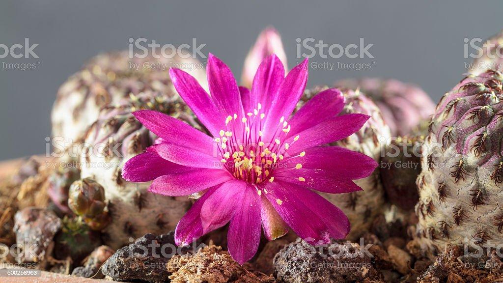 Seltene Cactus Lizenzfreies stock-foto