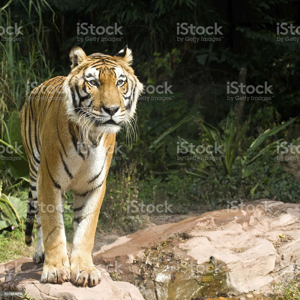 rare endangered tiger looking for prey stock photo