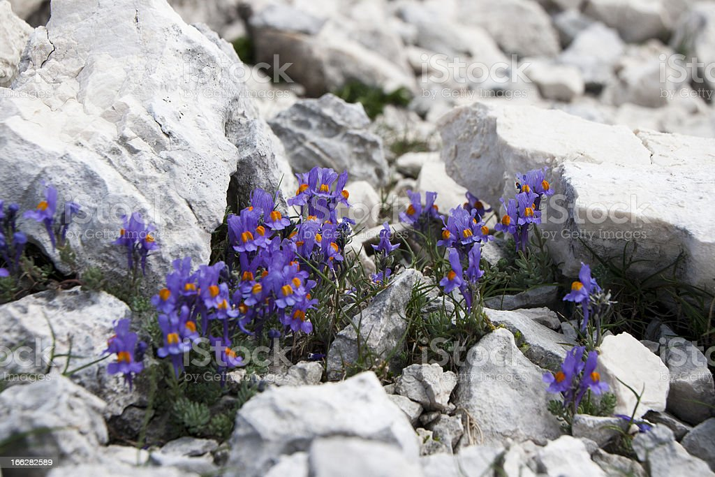 Rare flower in the Alps stock photo