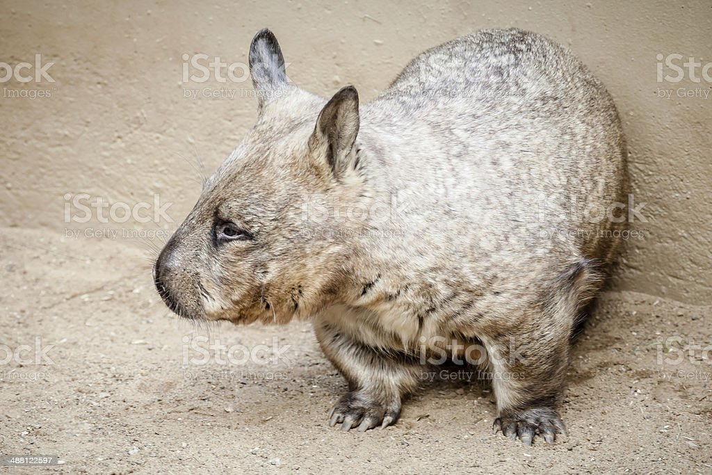 Rare Glimpse of a Southern Hairy-nosed Wombat in Daylight stock photo