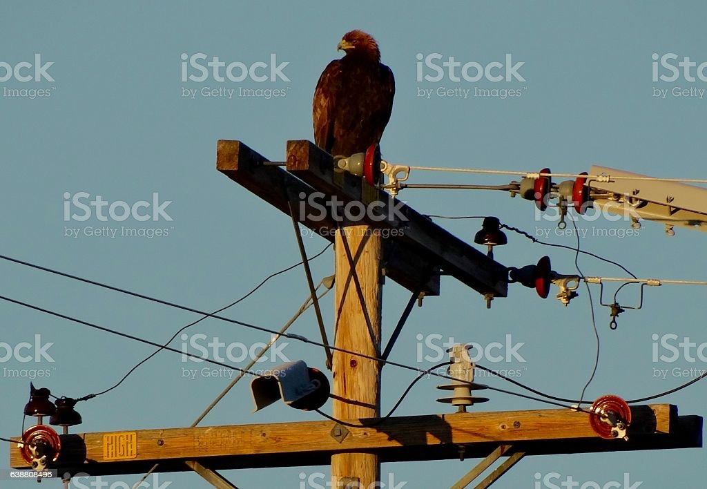 Rare Golden Eagle stock photo