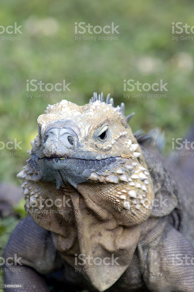 Rare Grand Cayman Blue Iguana royalty-free stock photo