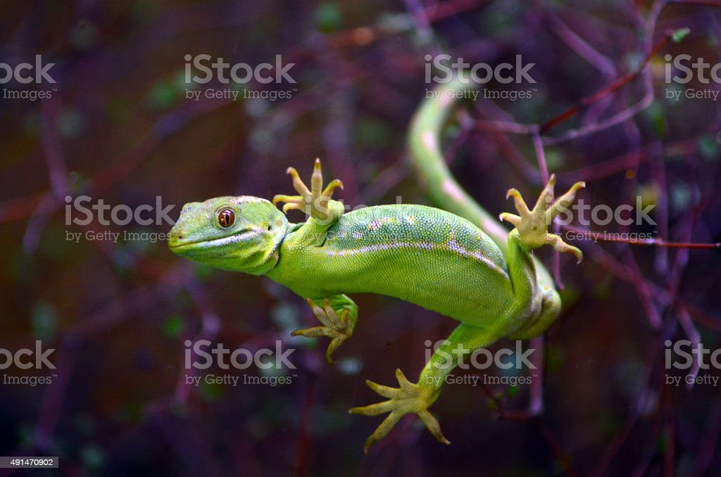 Rare Green gecko Northland New Zealand stock photo