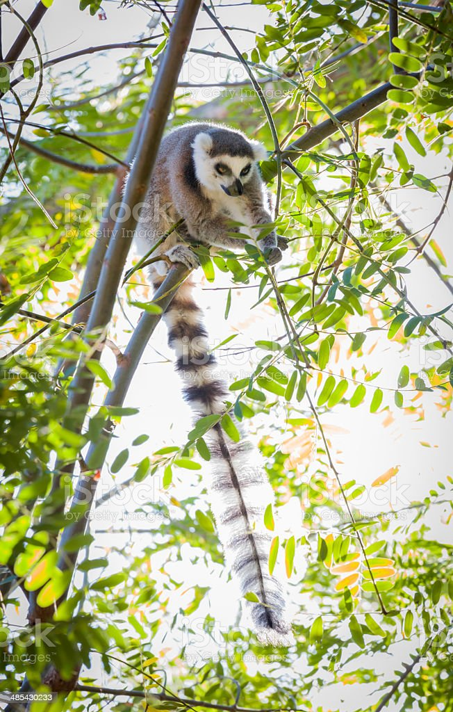 Rare Lemur Feeding in Trees stock photo