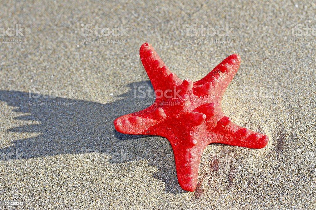rare red starfish in the sea sand stock photo