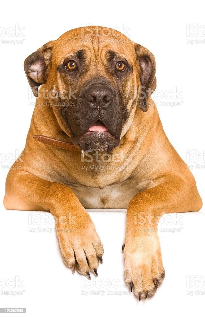 A rare South African Boerboel 8 months old female puppy stock photo