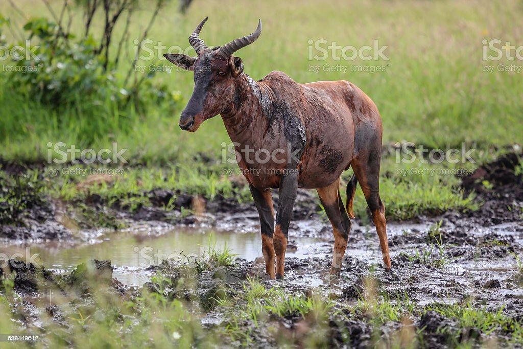 Rare Tsessebe antelope stock photo