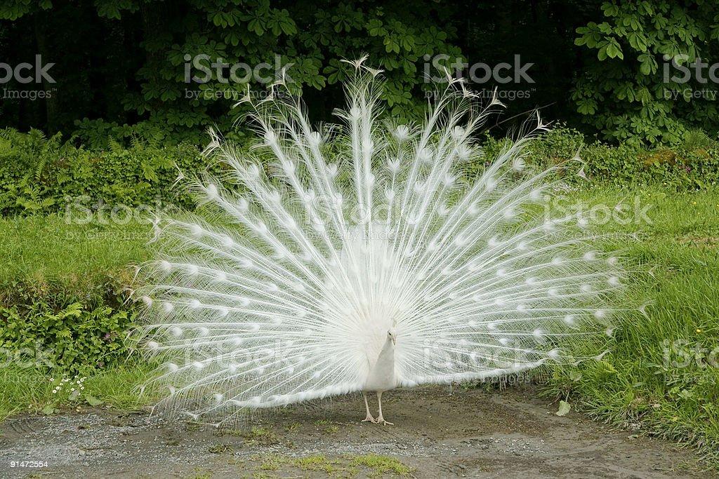 Rare white peacock, near Ilfracombe, Devon. stock photo