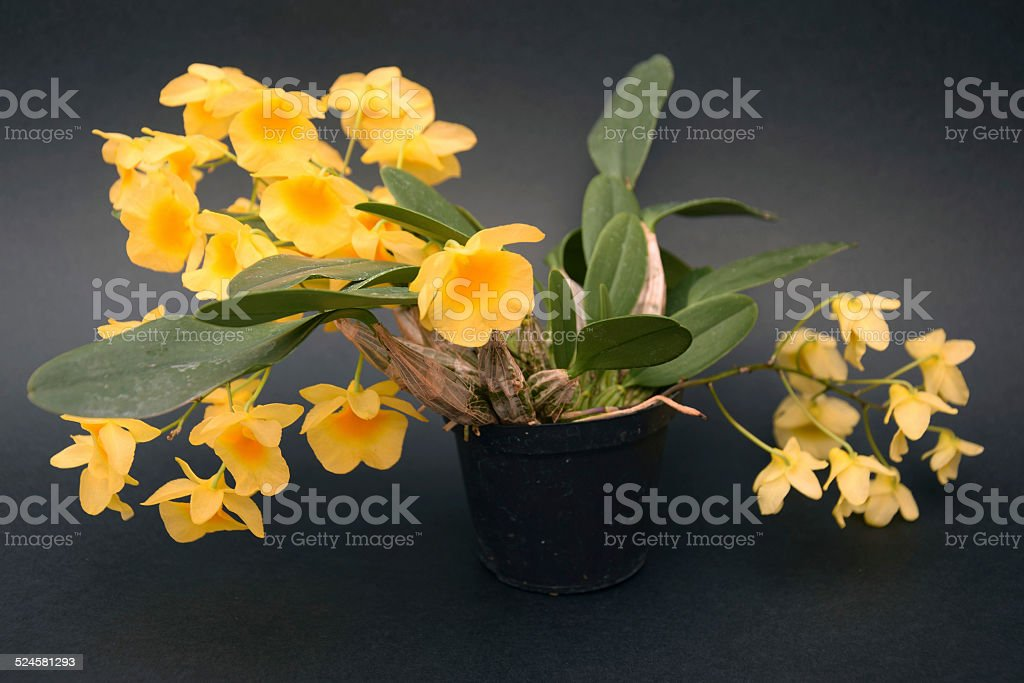 Rare wild epiphytic orchid Dendrobium lindleyi stock photo