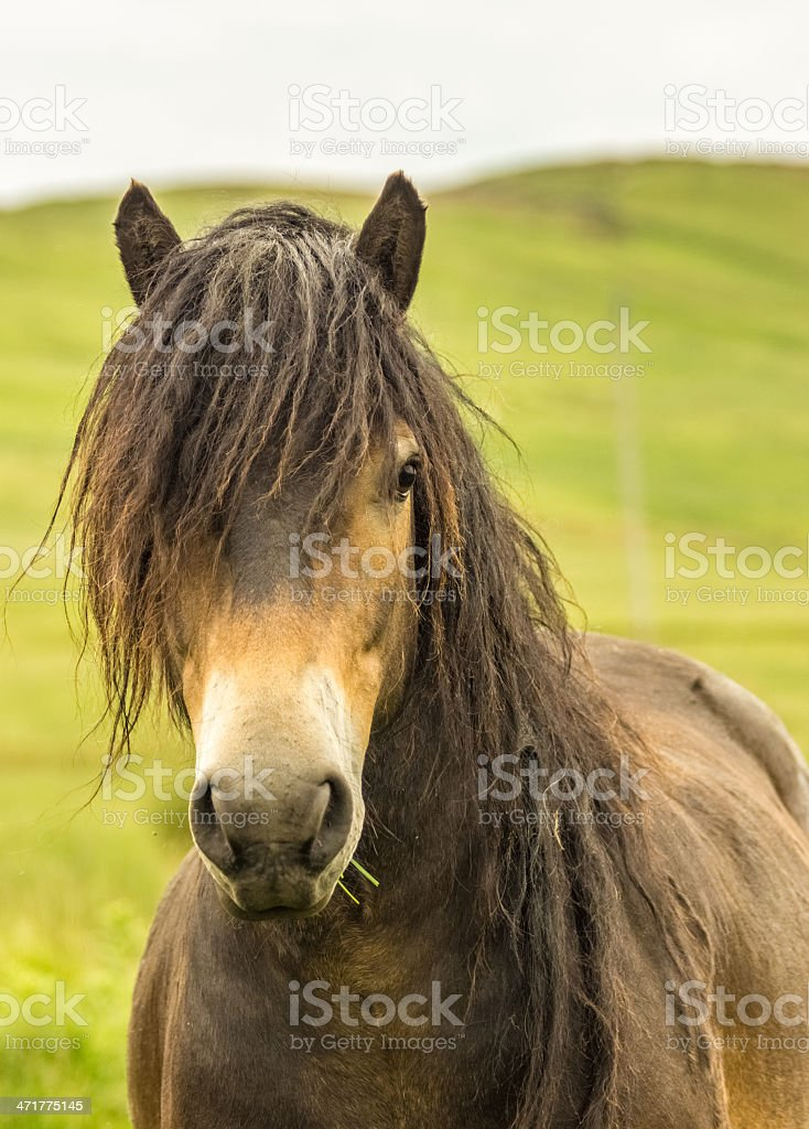 Rare Wild Horse Breed Exmoor Pony stock photo