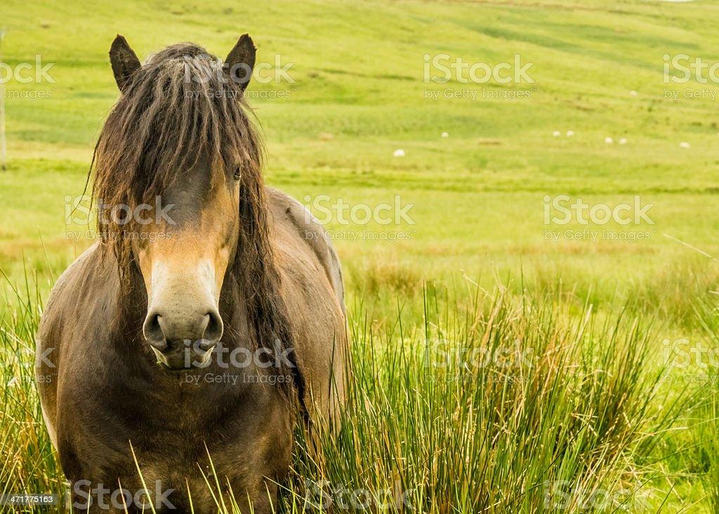 Rare Wild Horse Breed Exmoor Pony royalty-free stock photo