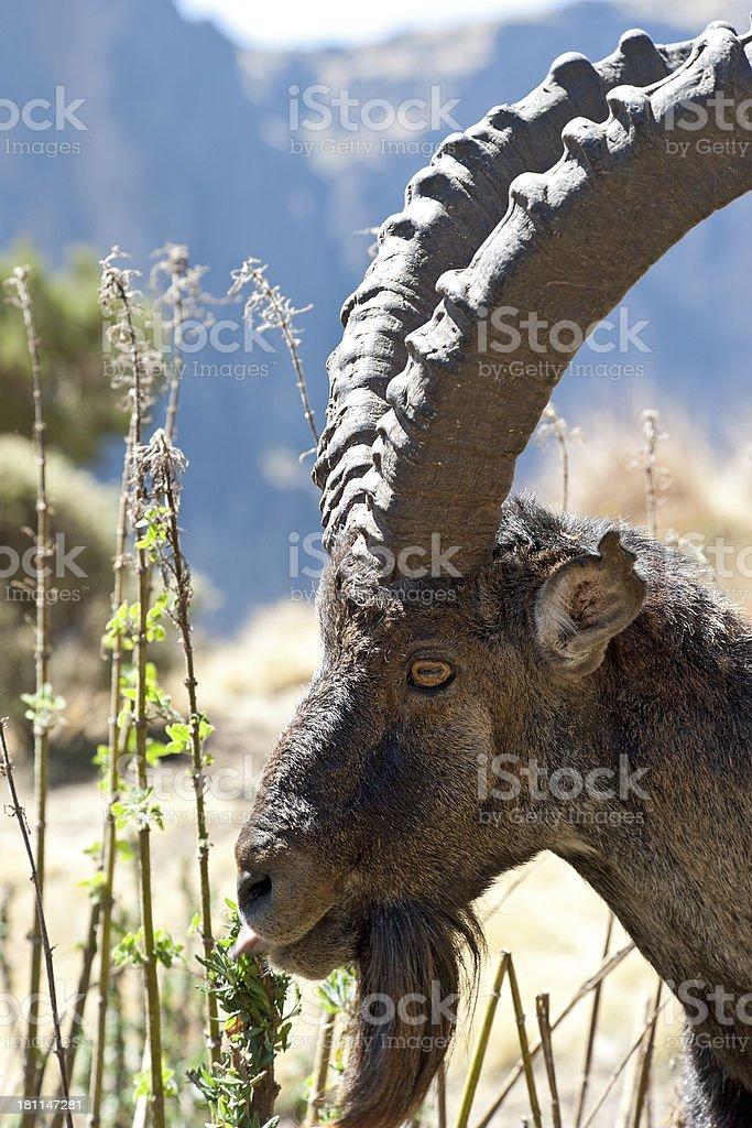 Rare wildlife shot of a Walia Ibex, Simien Mountains, Ethiopia royalty-free stock photo