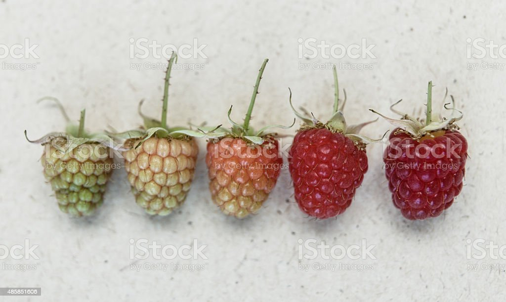 Raspberries on vintage paper. Botanical illustration. Herbarium stock photo