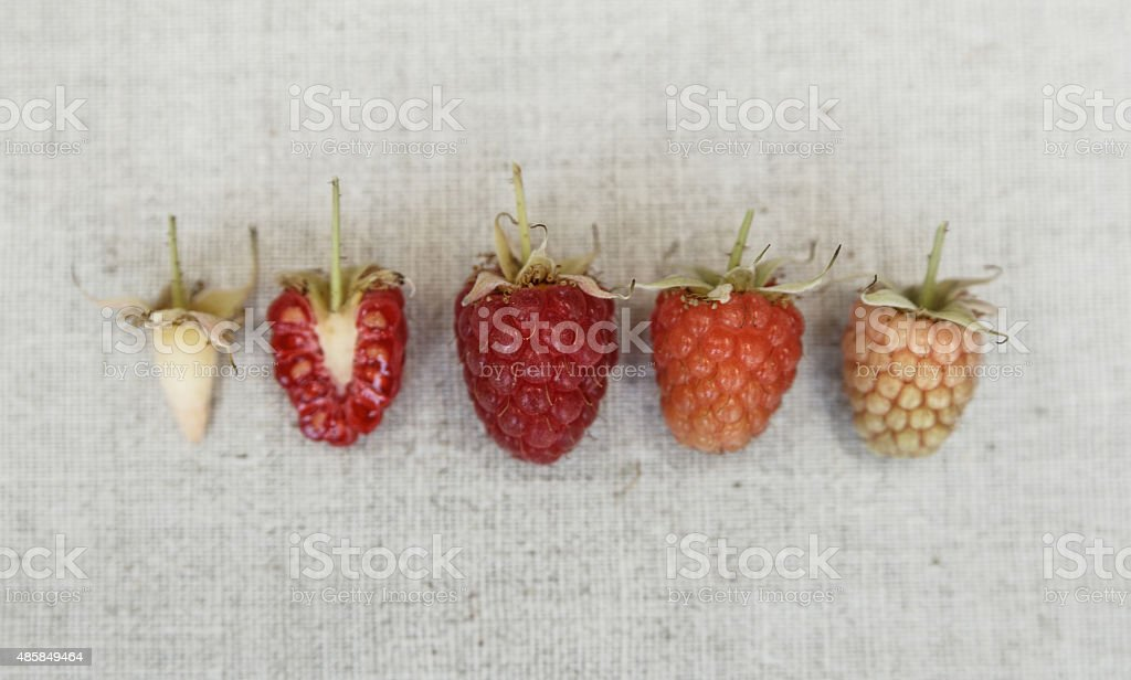 Raspberry background. Different kind of ripeness of raspberry. Raspberry herbarium. stock photo