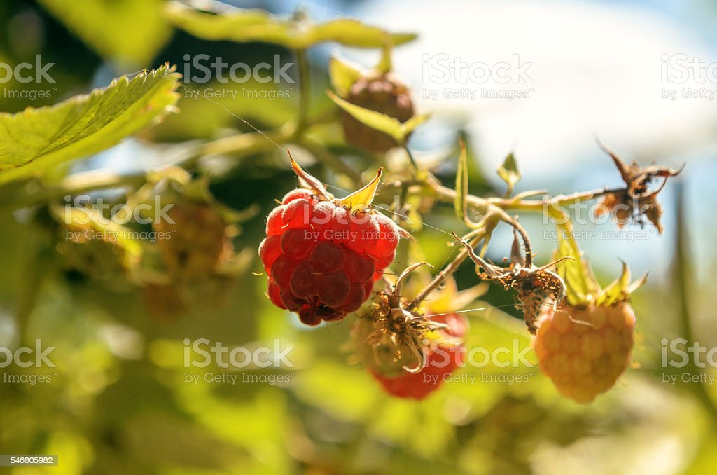 Raspberry berries on a branch against the sky. stock photo