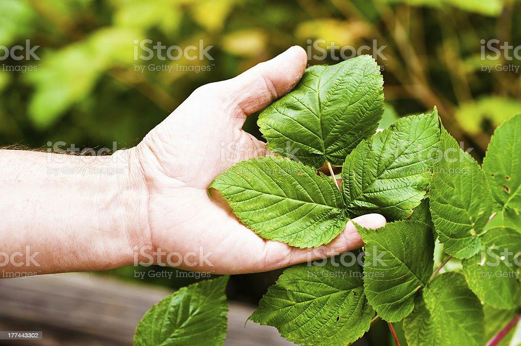 raspberry bush royalty-free stock photo