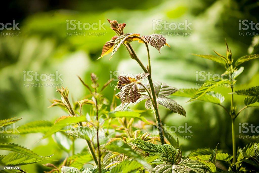 Raspberry bush. stock photo