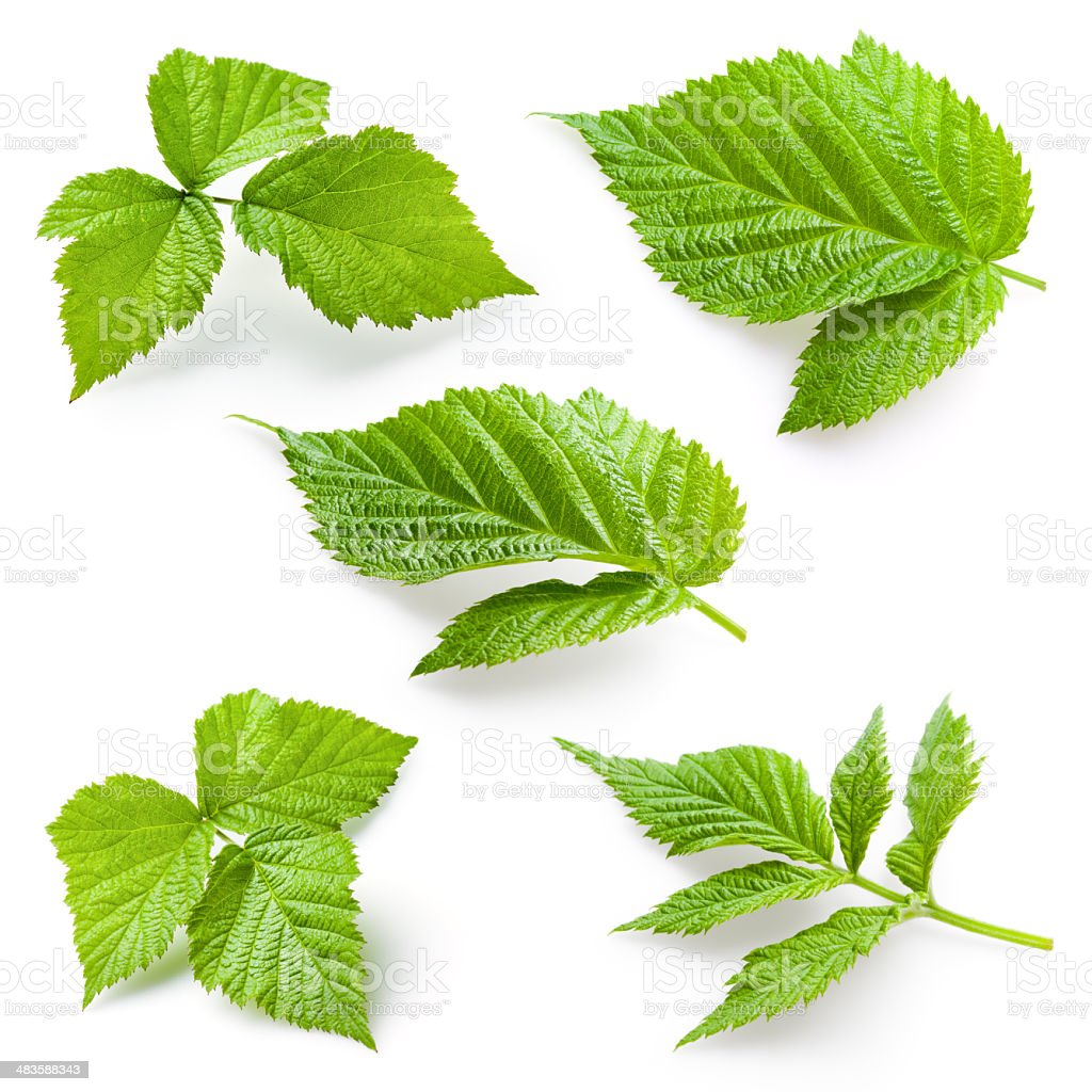 Raspberry leaf isolated. Collection stock photo