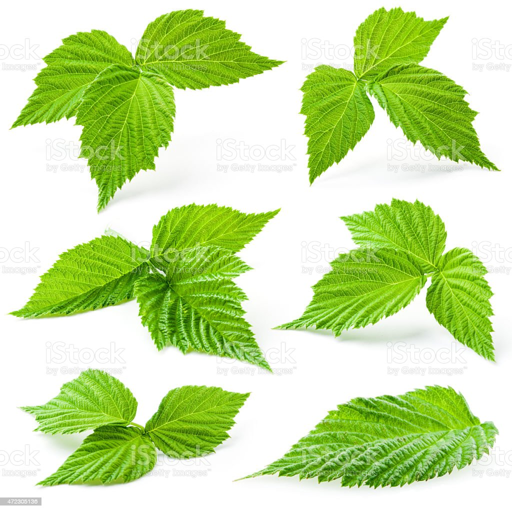 Raspberry leaves isolated on white background stock photo