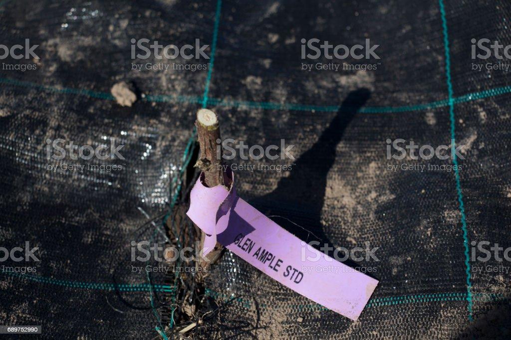 Raspberry planting in new organic raspberry farm. stock photo