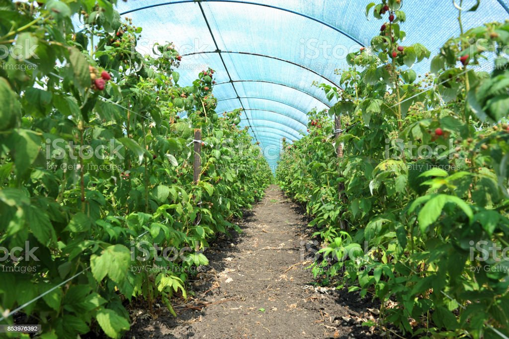 Raspberry plants in a greenhouse stock photo