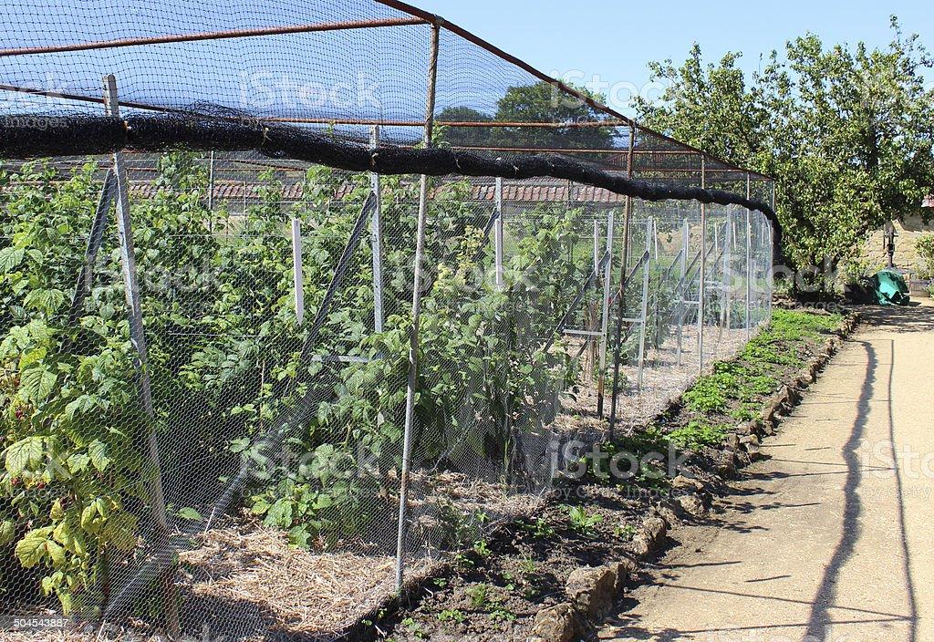 Raspberry plants / raspberries in fruit cage, walled ornamental kitchen garden stock photo