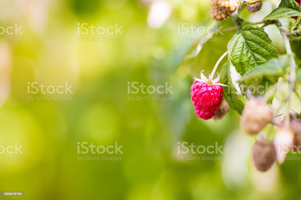 Raspberry ripening on a stalk stock photo