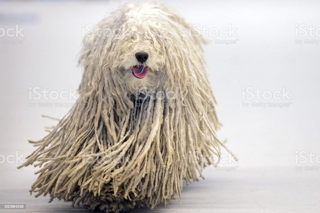 Rasta Poodle white dog coming to you stock photo