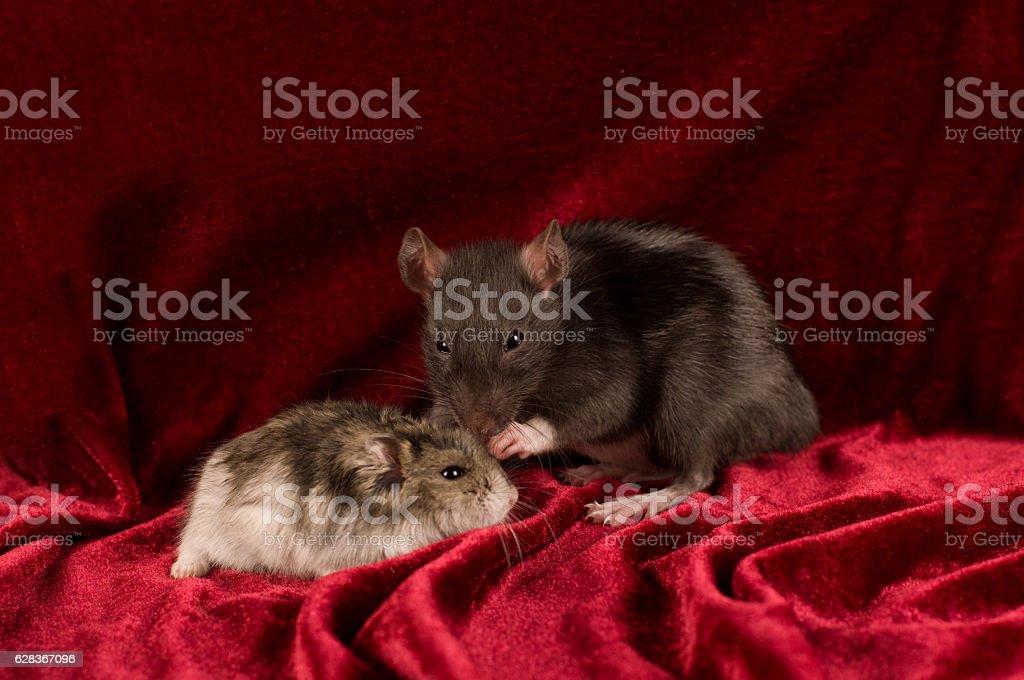 Rat and hamster on red velvet background stock photo