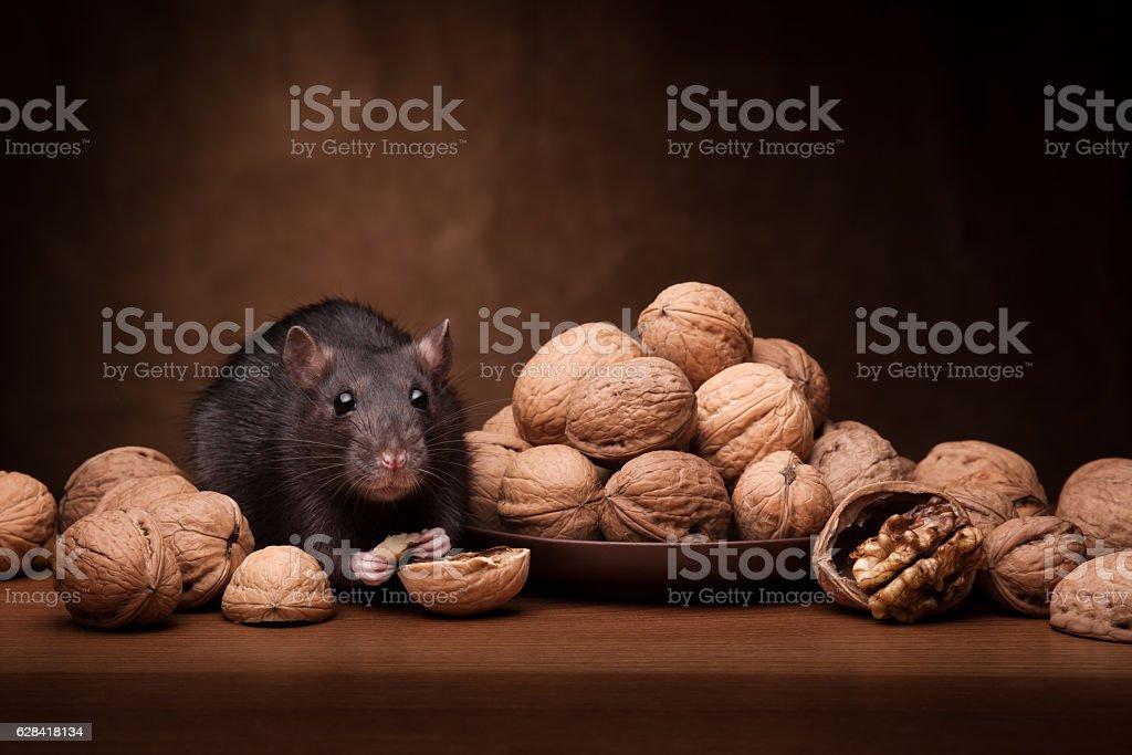 rat and walnut stock photo