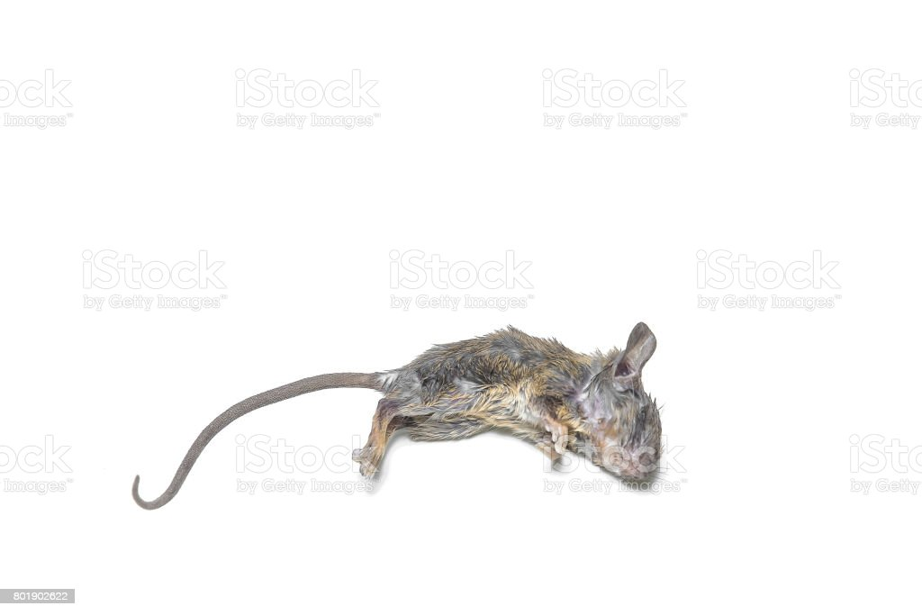rat dead on white background stock photo